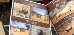 """Catalogue lions (""""Chasse: main basse sur la savane"""")"""